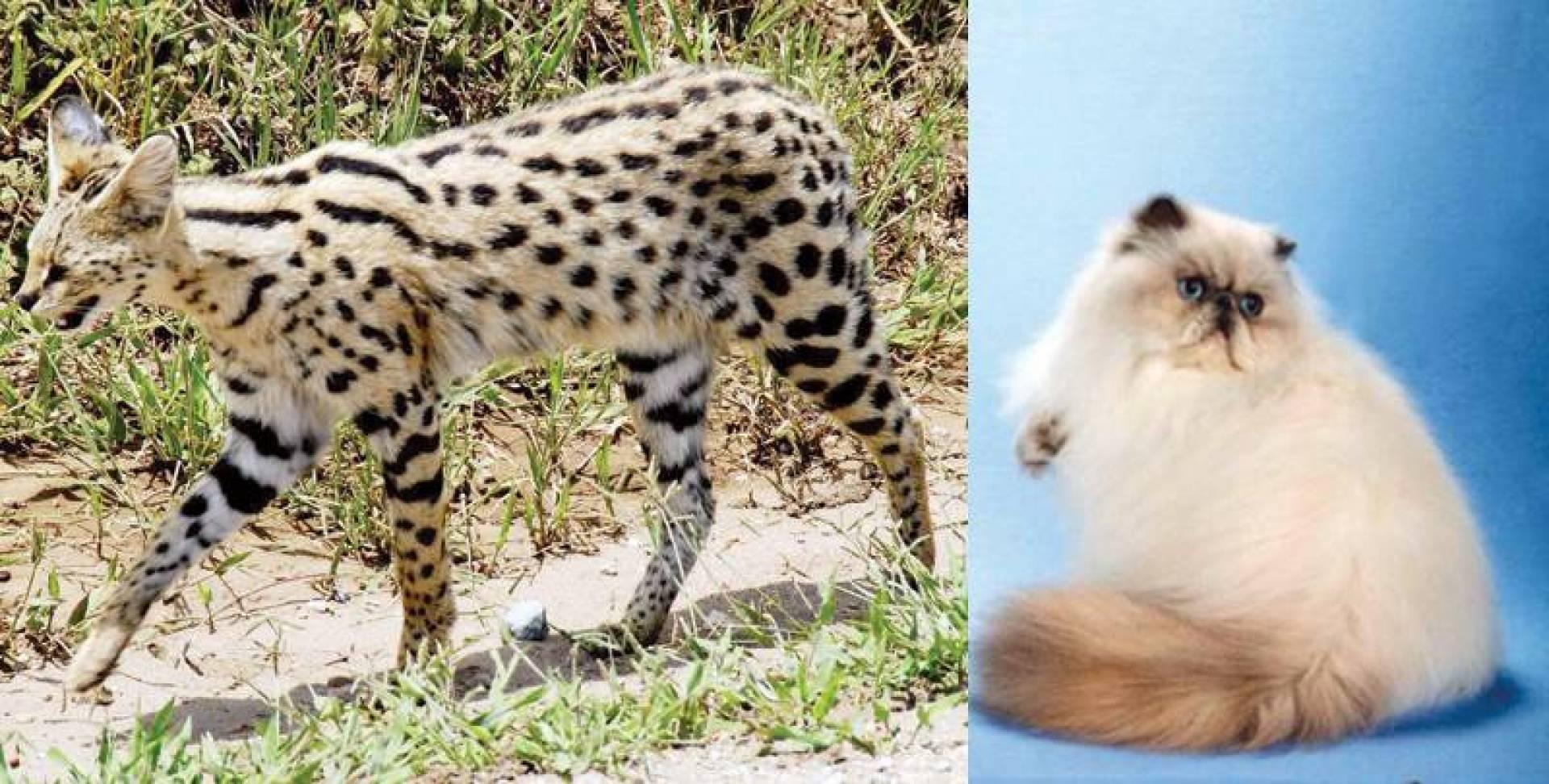 إحدى قطط ساندرا السميط - قطة من فصيلة سيرفال بيعت بـ4 آلاف دينار!