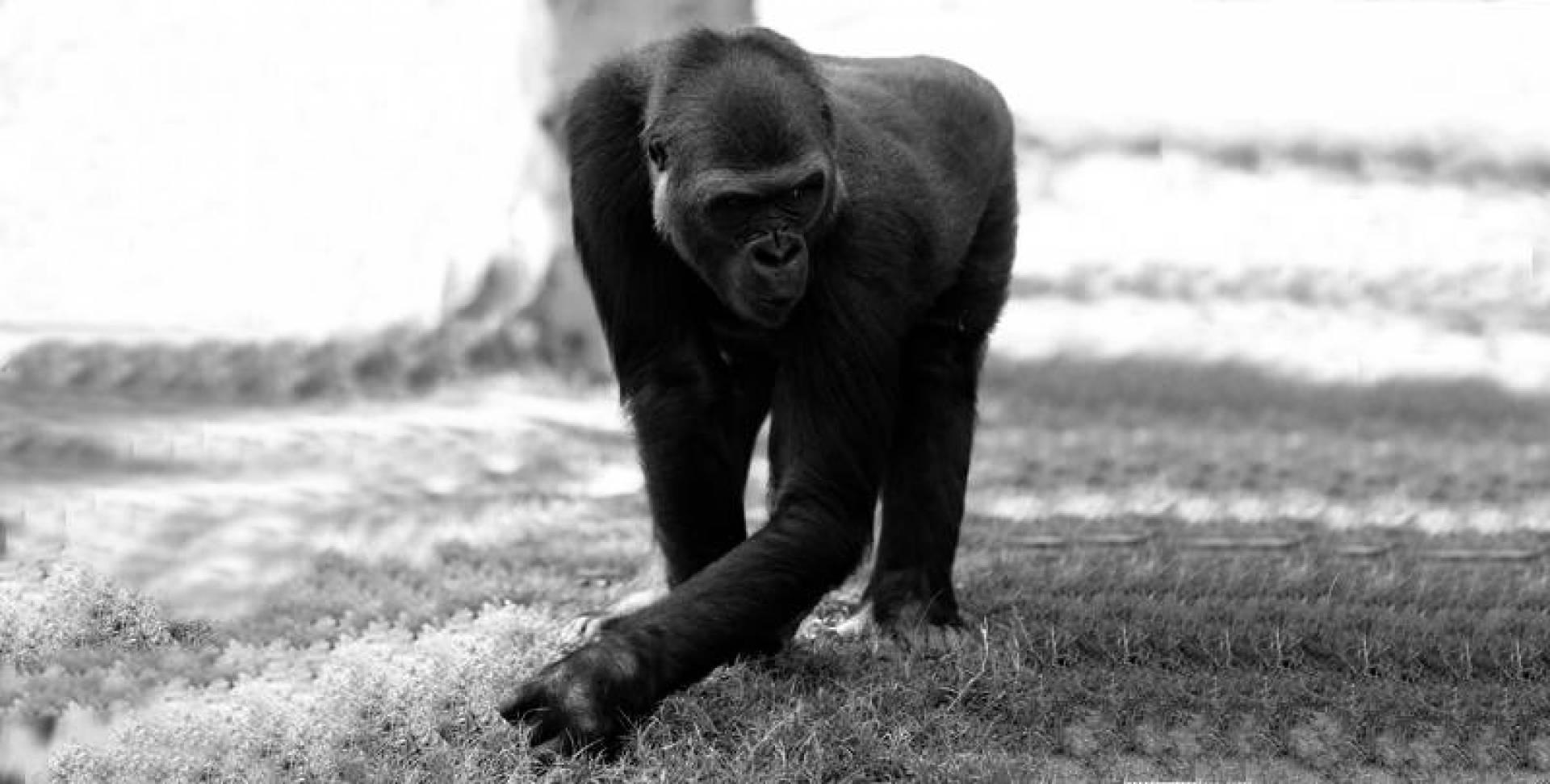 غوريلا في حديقة حيوان بسان دييغو.. أرشيفية