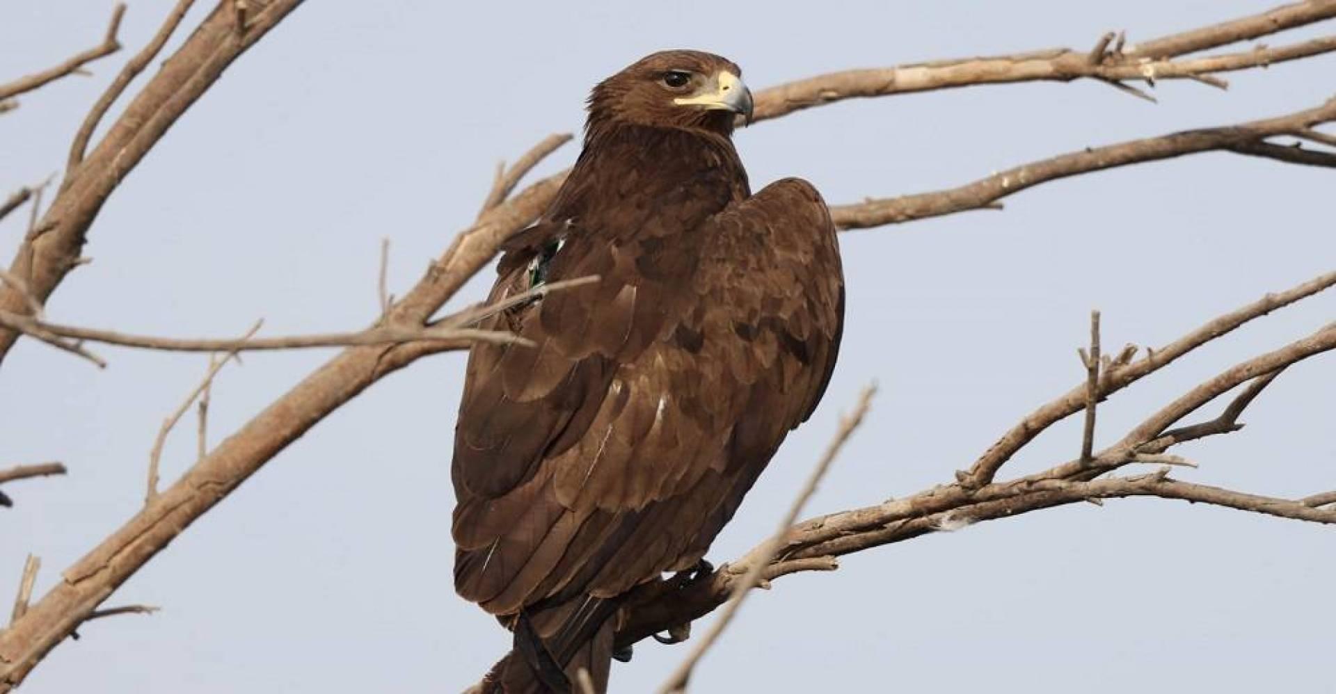 طيور العقاب تعود للبلاد بعد 6 أشهر في جنوب روسيا